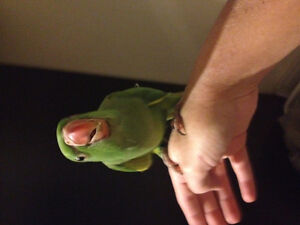 Indian Ringneck ready to go !