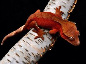 IN NEED OF Certain Crested Geckos