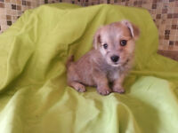 Little malchi was sold - little morkies coming