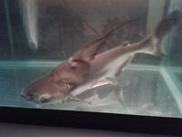 emporer shark and pacu for sale