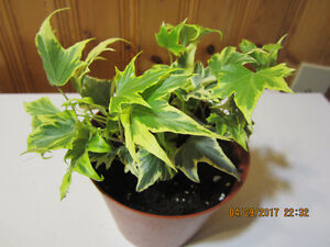 English Ivy Plant - Low Light
