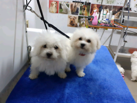 Beautiful puppies. Bichon Maltese