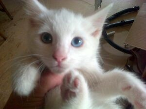 Pure white kittens, with unique eye colors. Female is Sold !!!