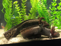 Adult Axolotls for Sale
