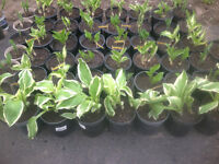 POTTED HOSTAS