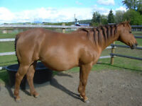 Registered Quarter Horse Broodmare