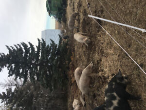 Finished Pigs/ Hogs for sale!