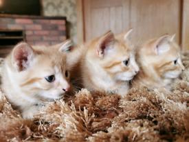 Georgeous Ginger Kittens