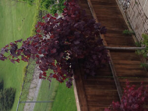 10 ft Red Maple - Best Offer