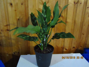 Chinese Evergreen Variegated - (Air Cleaning House Plant)