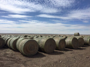 5000 Canola Green Feed Bales - Beef Hay Quality