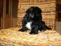 Male Morkie Puppy!