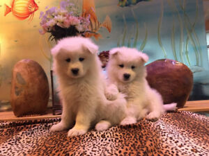 Pure white two months Samoyed puppies