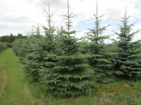 Sale of Colorado Blue Spruce Trees 6 to 10 feet