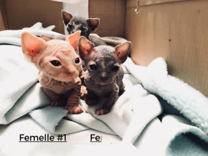 A VOIR!  Superbes chatons Sphynx