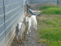 Two goats for sale