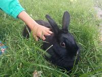Beautiful black Bunny