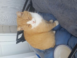 Orange and white cat foynd in Manitoba..searching for owner Moose Jaw Regina Area image 2