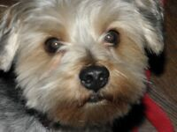 Beautiful loving yorkie to be rehomed