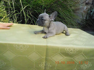 Beautiful rare french bulldog puppies for sale