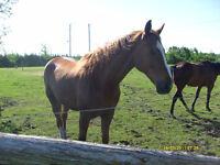 Cheval Thoroughbred