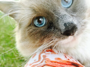 Balinese 2 year old cat