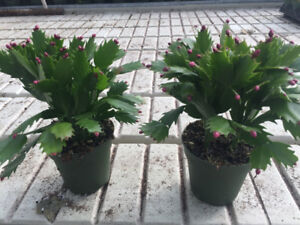 Christmas cactus - many different colours
