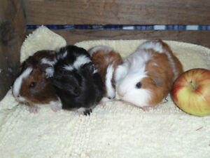 ADORABLE BABY GUINEA PIGS JUST READY TO GO.