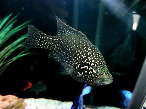 Starry Night Cichlid