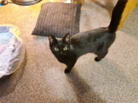 Kitten for sale 6 months old all black