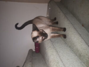 Looking  for Male siamese