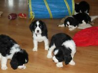 CKC reg  ENGLISH SPRINGER SPANIEL PUPPIES