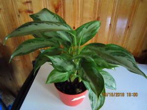 Chinese Evergreen Silver Bay  - (Air Cleaning House Plant)