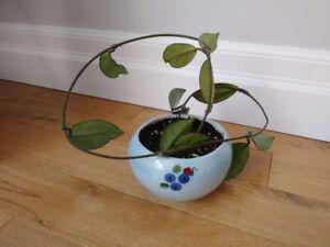 Beautiful HOYA plant in cute ceramic pot