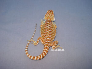 Bearded Dragons For Sale - Guelph
