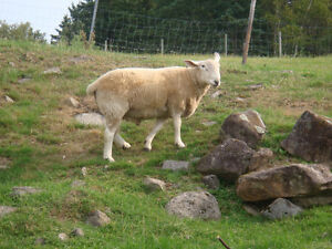 North Country Cheviot Ram