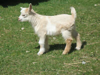 Purebred Registered Minature Silky faing goat Kids Have arrived