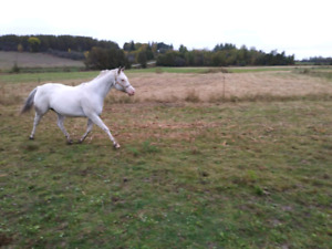 Appaloosa Gelding for rehoming