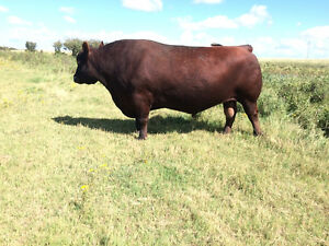 Yearling Red Angus Bulls