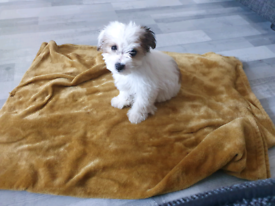 Maltese cross jackrussle girl puppy ready to go