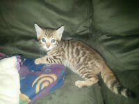 Adorable Male Bengal tica registered