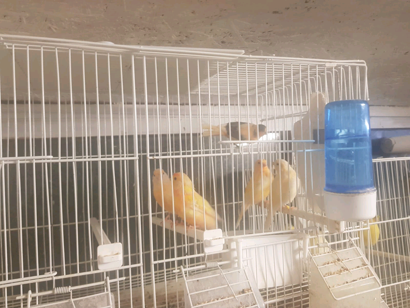 Used, Various canaries for sale - red factors,borders,hand reared,diaphormic for sale  Brentford, West London