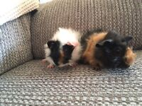 2 baby boy Guinea pigs for sale