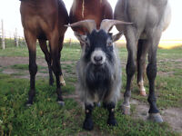 Pygmy Goat - Breeding buck for sale