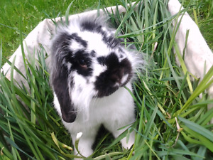 Babby lop lion head bunnies for sale