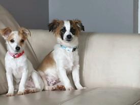 2 chihuahua puppys