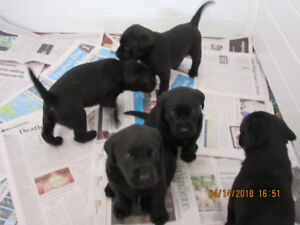 For Sale Purebred  Black and Chocolate Lab. Puppies