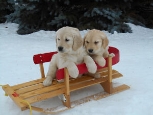 Pure Golden Retriever Puppies