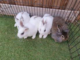 Baby dwarf rabbit