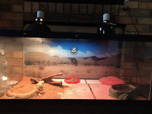 Bearded Dragon with everything included!!